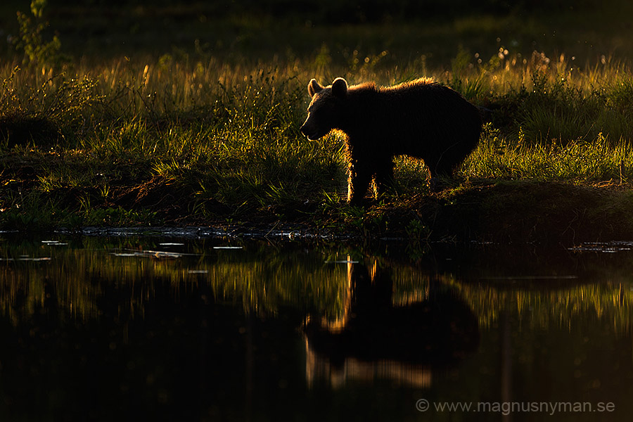 Brown Bear in forest by Magnus Nyman