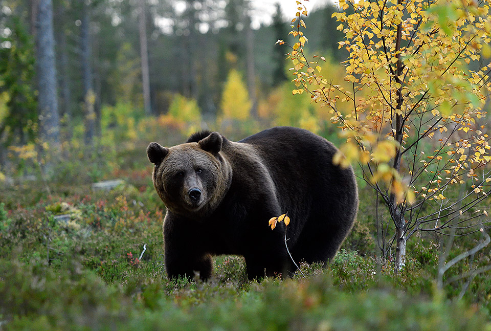 Bear in autumncolors