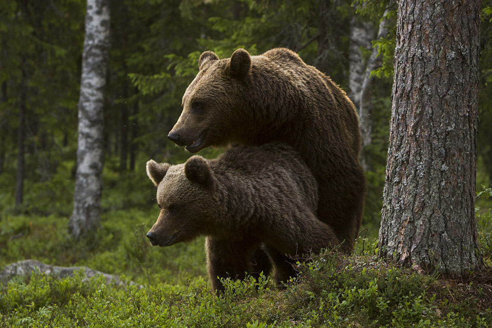 Bears at maiting time