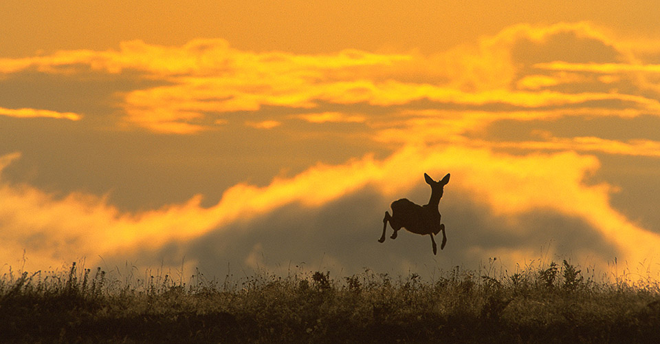 Roe Deer jumping in morning light